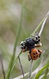 aimé par les abeilles et papillons 50 graines. Campion-white vessie Campion Catchfly