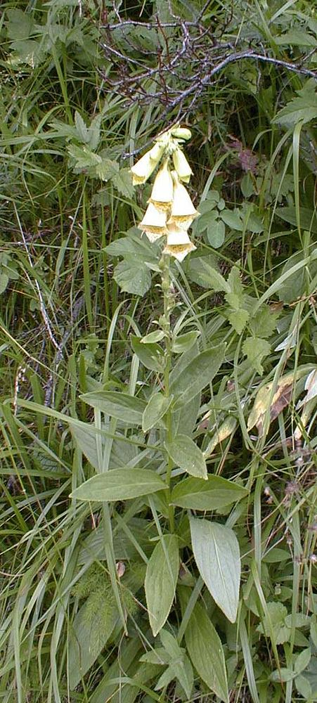 Digitalis grandiflora (Plantaginaceae)  - Digitale à grandes fleurs - Yellow Foxglove Hautes-Alpes [France] 27/07/1999 - 3069m