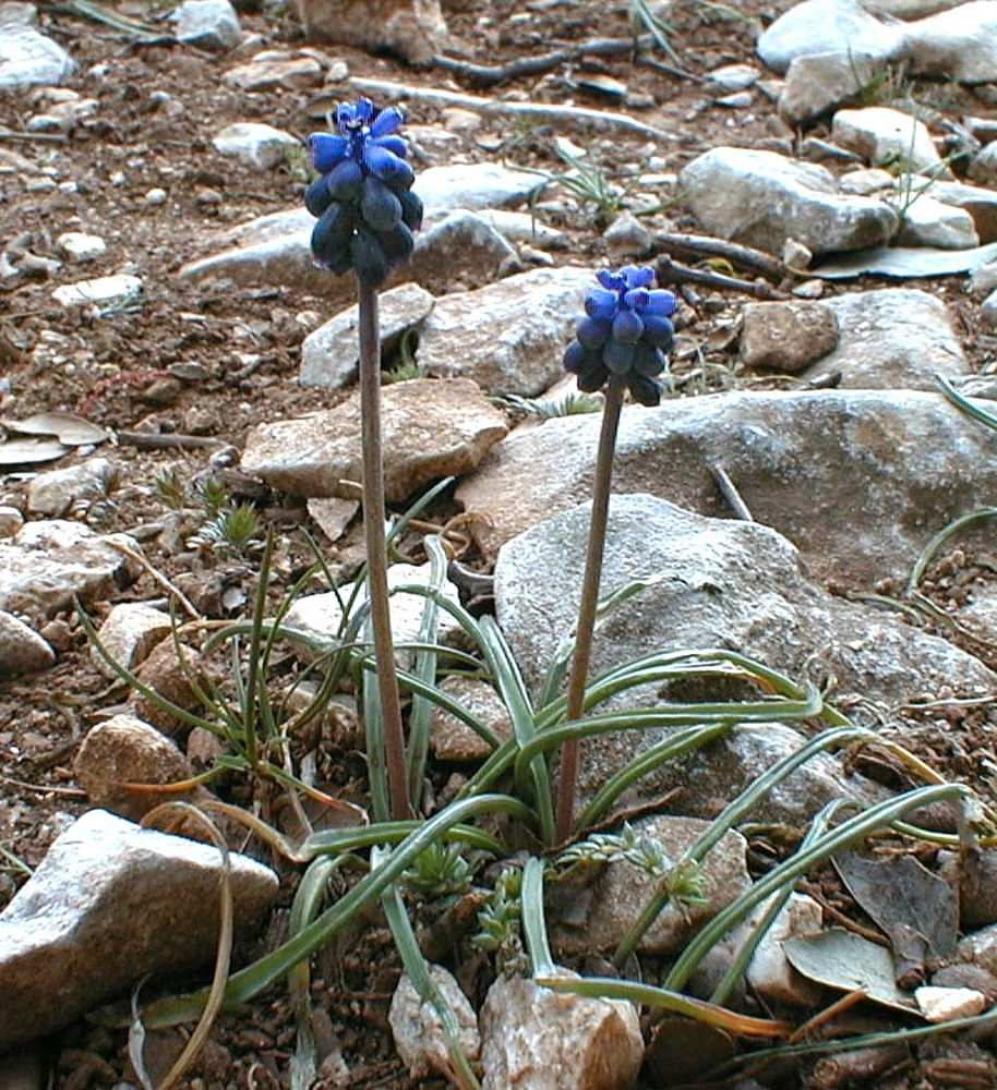 Muscari botryoides (Asparagaceae)  - Muscari faux-botryde - Compact Grape-hyacinth Gard [France] 21/04/2001 - 224m