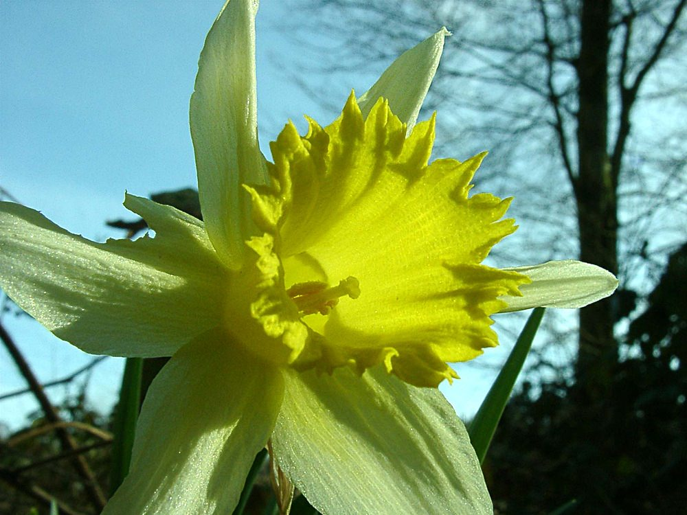 Narcissus pseudonarcissus Jonquille des bois Wild daffodil, Lent lily