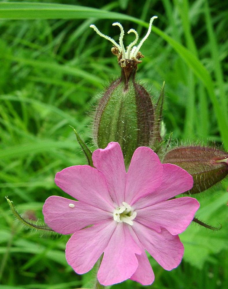 Silene dioica Compagnon rouge, Robinet rouge Red Campion