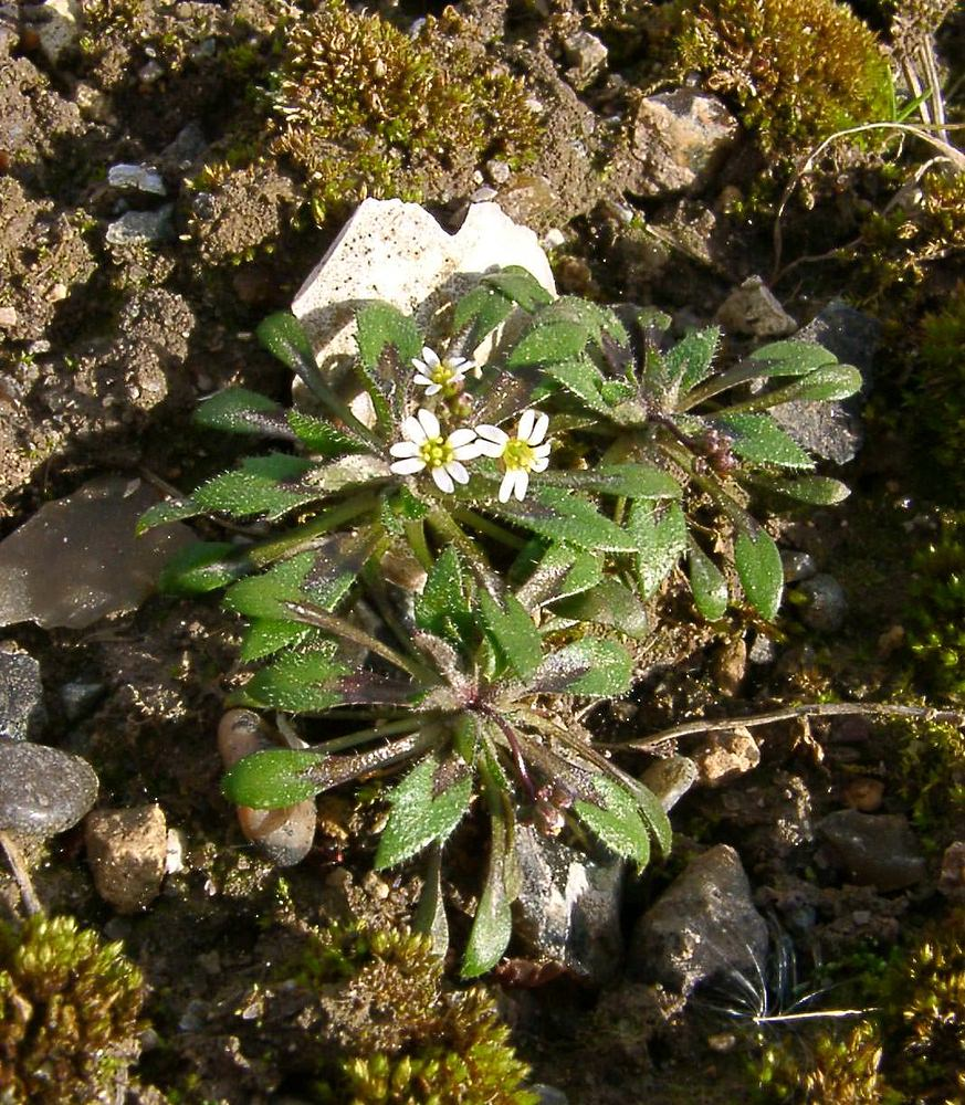 Draba verna Drave de printemps Hairy Whitlowgrass
