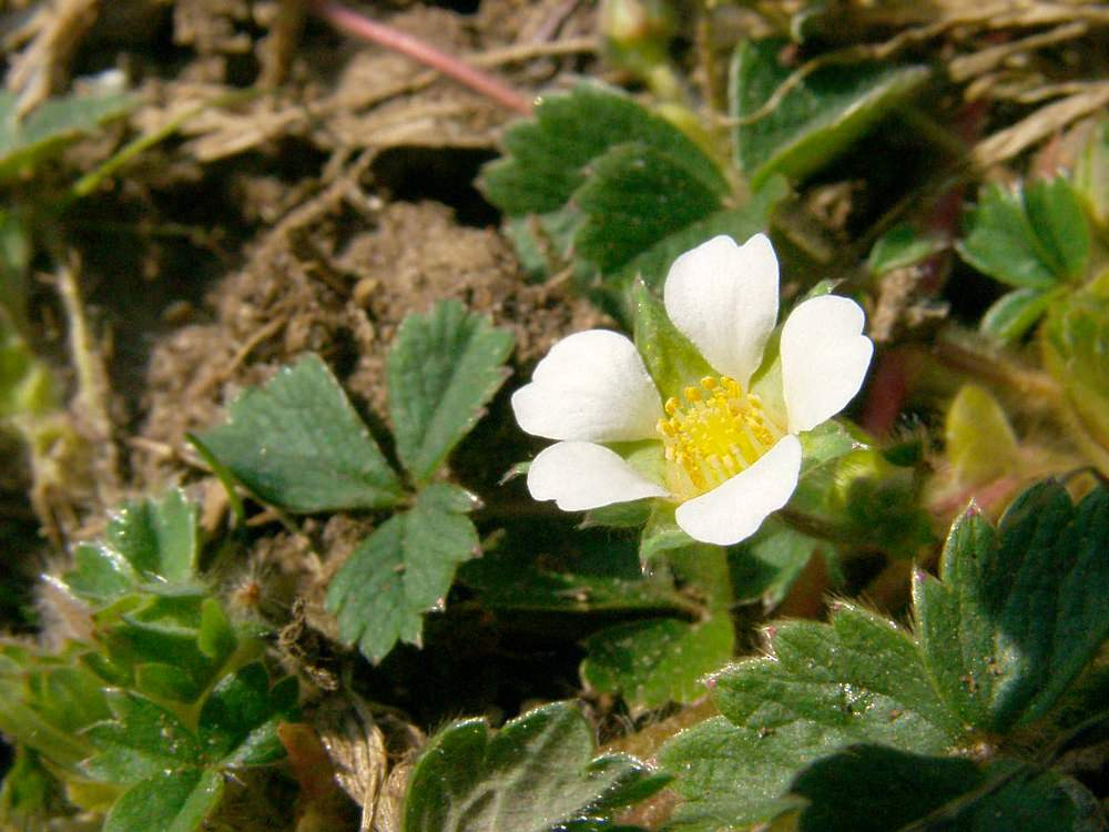 Potentilla sterilis Potentille faux fraisier Barren Strawberry