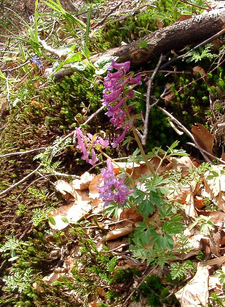 Corydalis solida (Papaveraceae)  - Corydale solide - Bird-in-a-Bush Gard [France] 23/04/2003 - 1344m