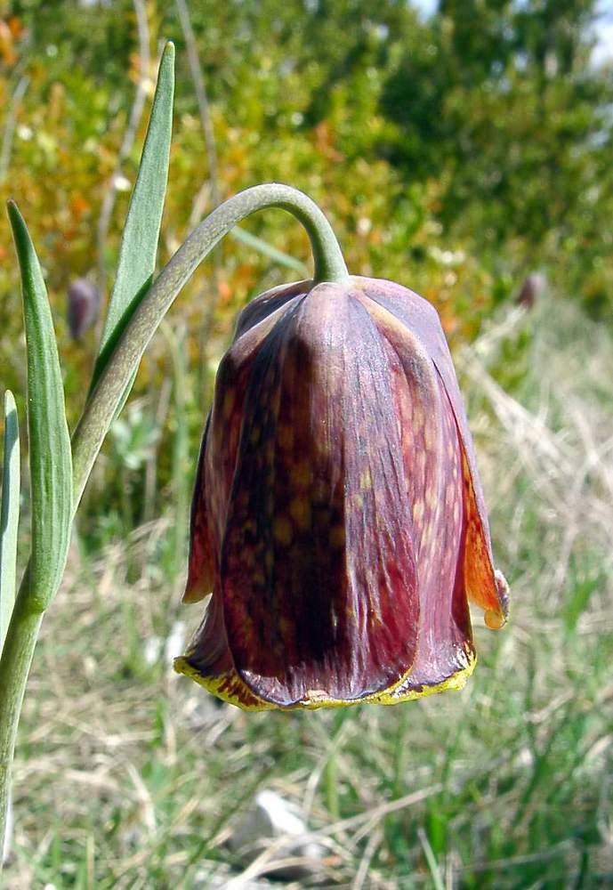 Fritillaria pyrenaica (Liliaceae)  - Fritillaire noire - Pyrenean Snake's-head Herault [France] 22/04/2003 - 696m