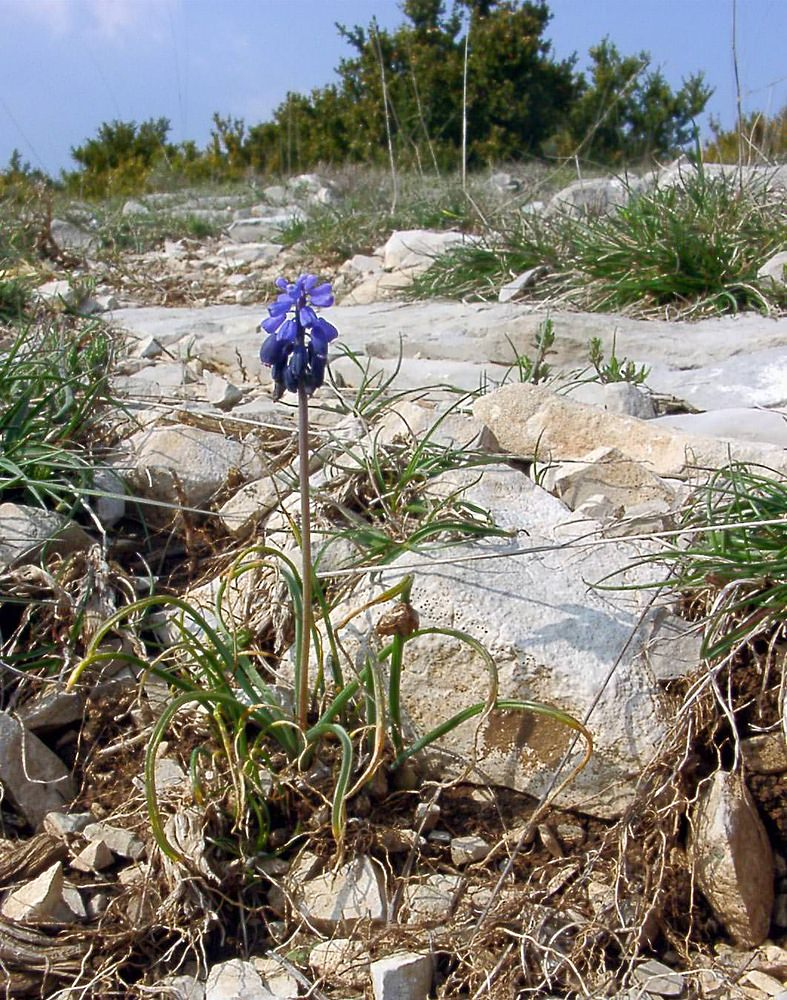 Muscari botryoides (Asparagaceae)  - Muscari faux-botryde - Compact Grape-hyacinth Gard [France] 18/04/2003 - 618m