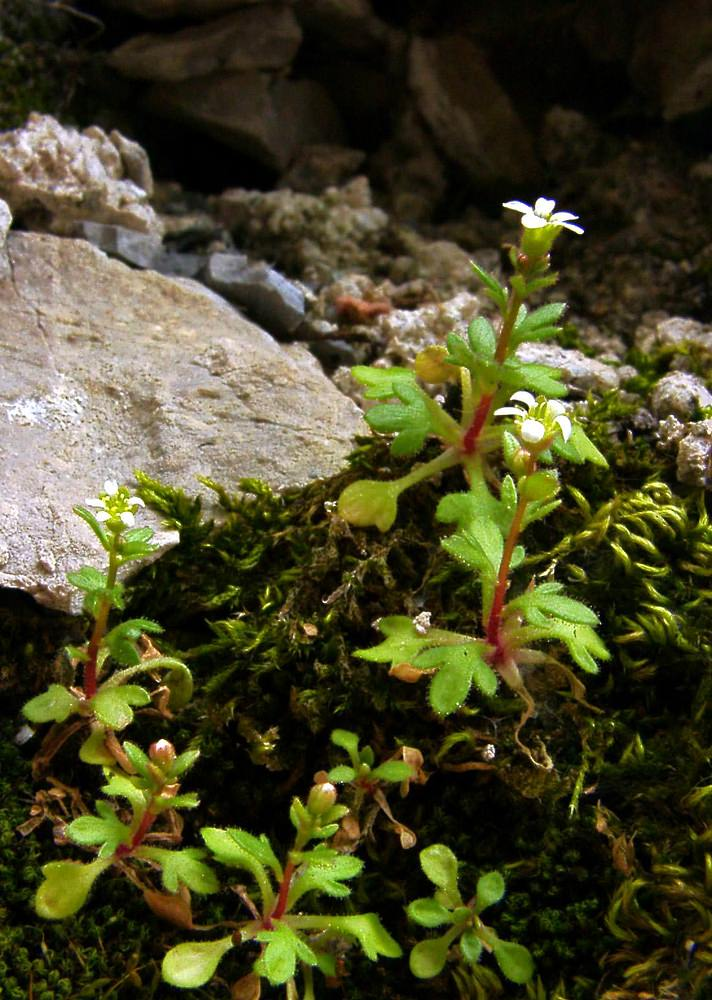 Saxifraga tridactylites (Saxifragaceae)  - Saxifrage à trois doigts - Rue-leaved Saxifrage Lozere [France] 14/04/2003 - 453m