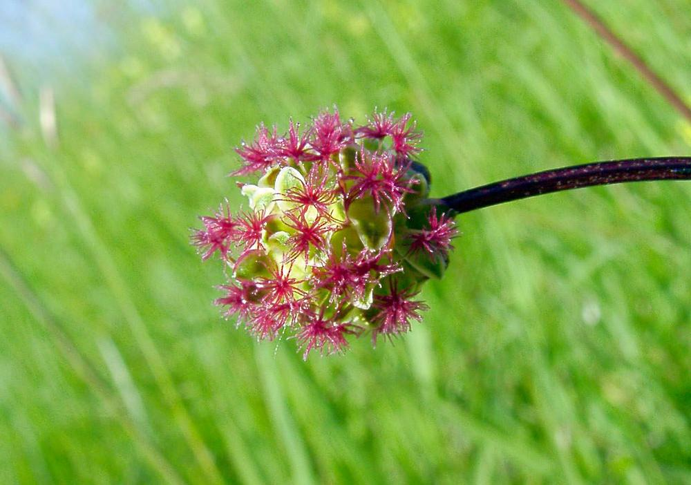 Poterium sanguisorba (Rosaceae)  - Pimprenelle à fruits réticulés Cote-d_Or [France] 30/05/2003 - 448m