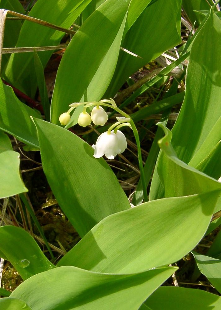 Convallaria majalis (Asparagaceae)  - Muguet, Clochette des bois - Lily-of-the-valley Aisne [France] 30/04/2004 - 113m