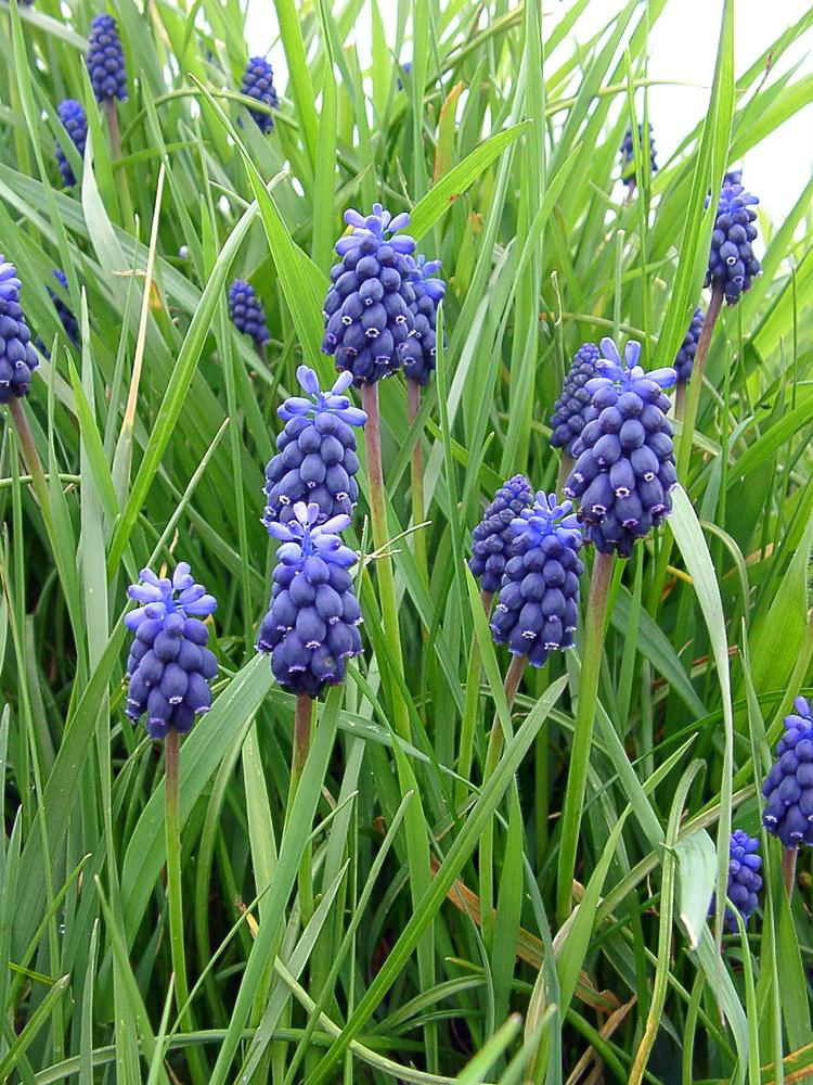 Muscari neglectum (Asparagaceae)  - Muscari à grappes, Muscari négligé - Grape-hyacinth Aisne [France] 03/04/2004 - 91m