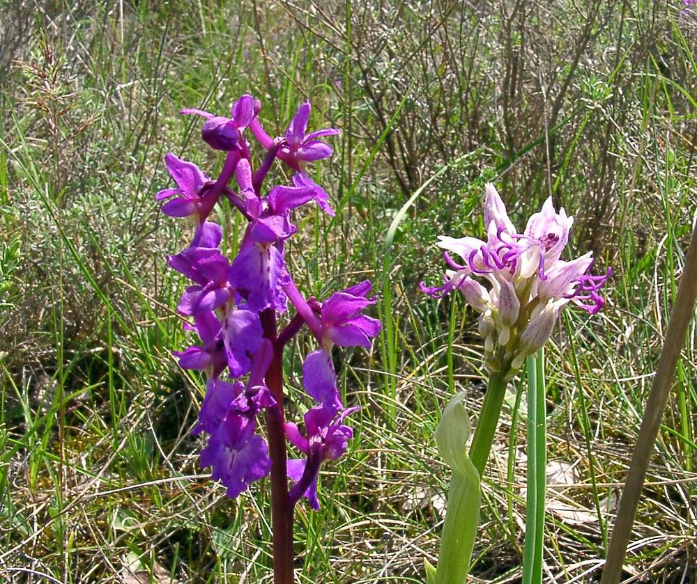 Orchis simia Orchis singe Monkey Orchid