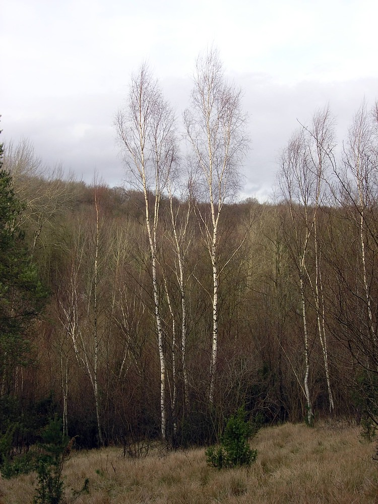 Betula  birches