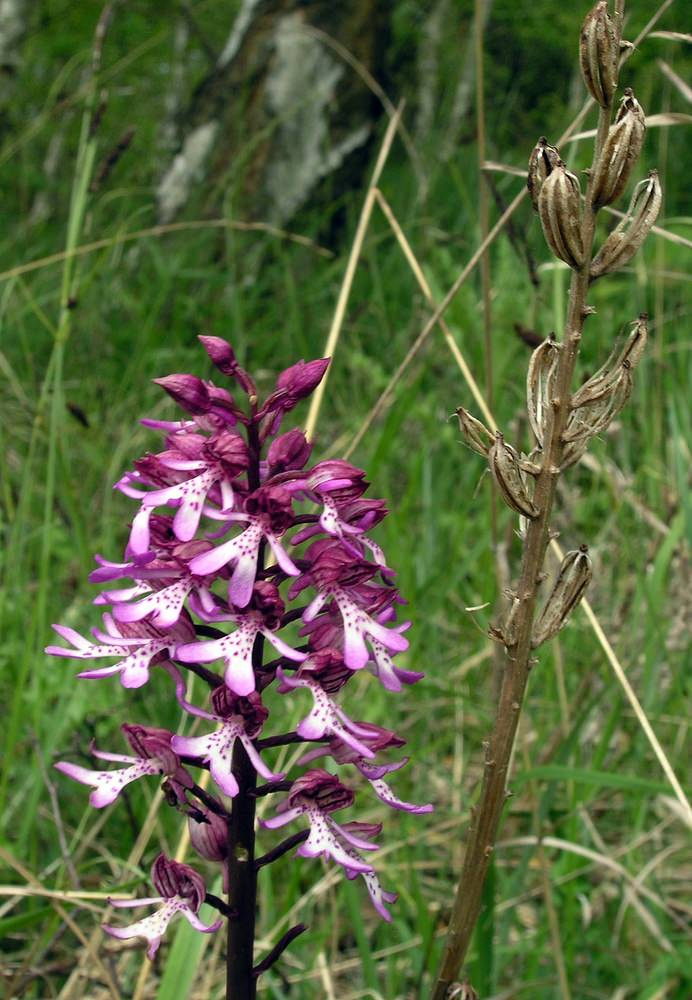 Orchis x hybrida Orchis hybride