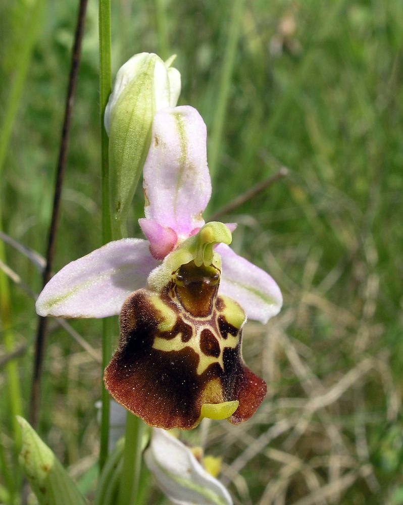 Ophrys fuciflora Ophrys bourdon, Ophrys frelon Late Spider-orchid