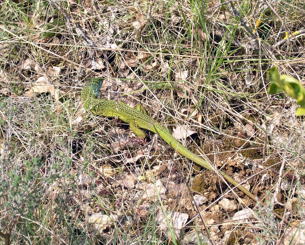 Lacerta bilineata (Lacertidae)  - Lézard vert occidental - Western Green Lizard Gard [France] 17/04/2006 - 461m