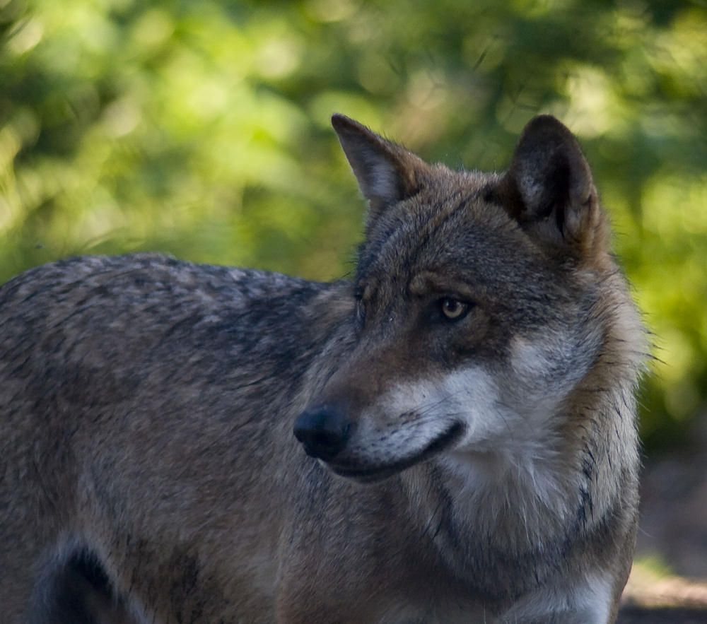 Canis lupus Loup gris
