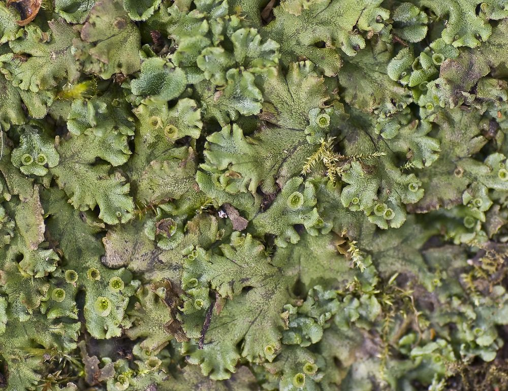Marchantia polymorpha Hépatique des fontaines Common Liverwort