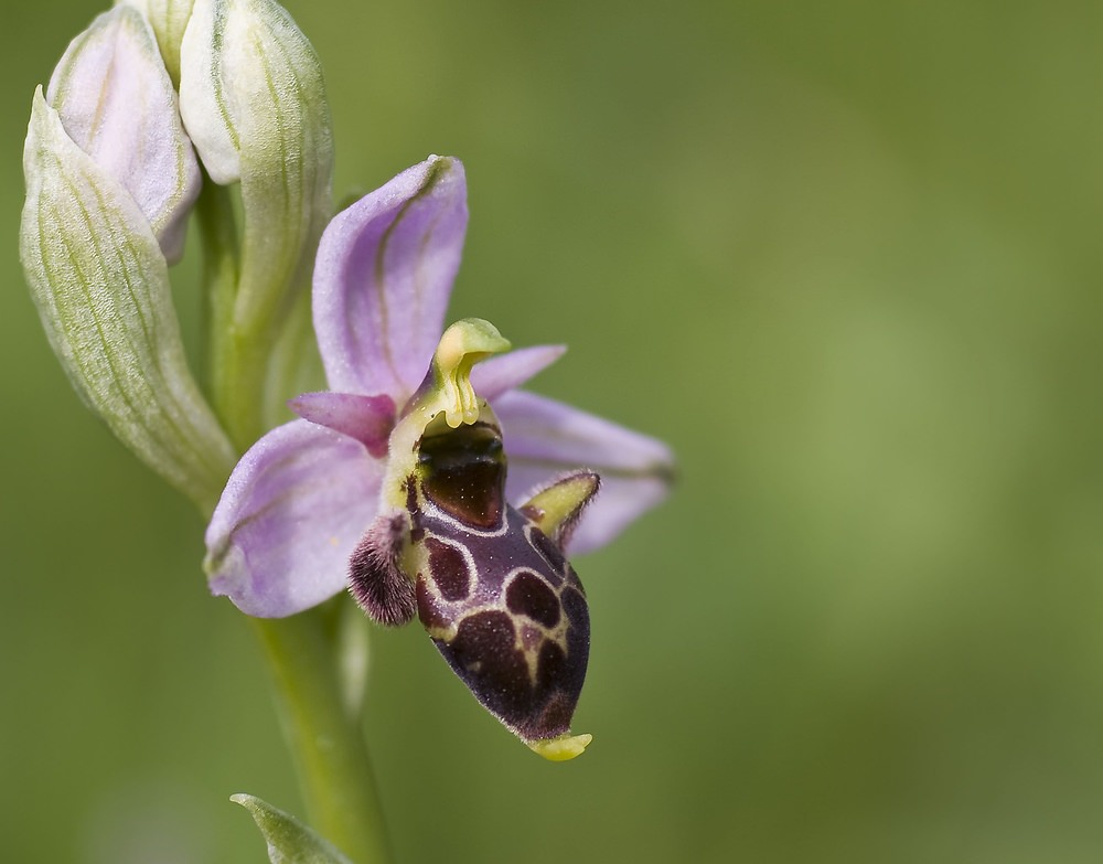 Ophrys scolopax Ophrys bécasse