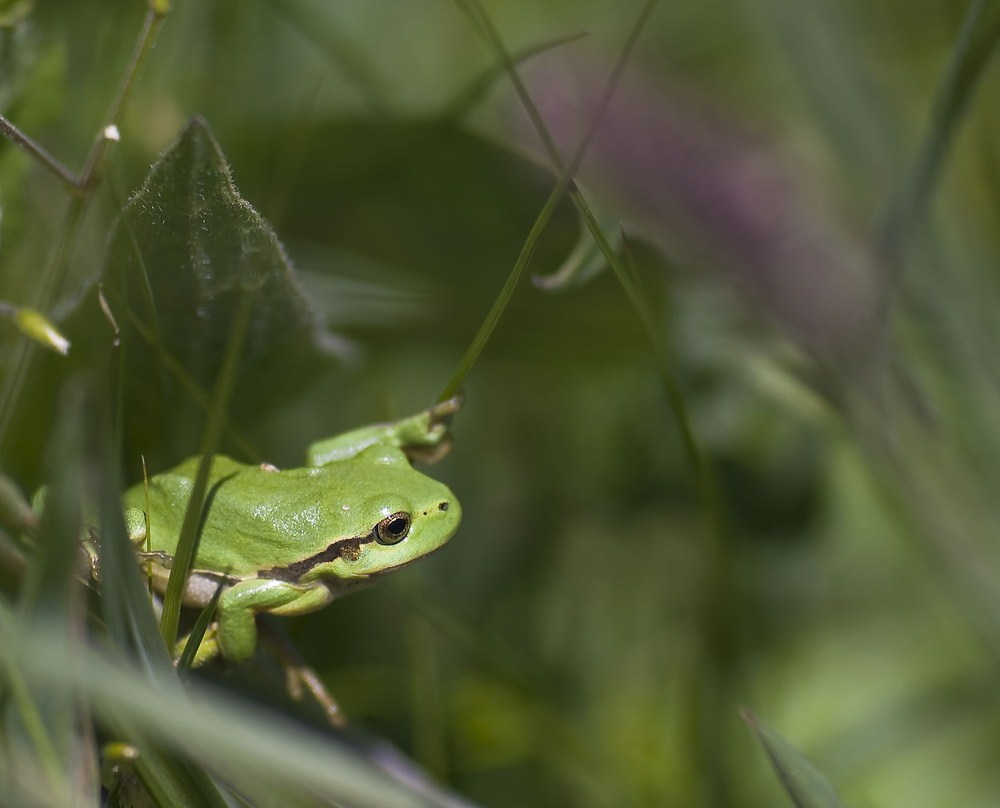 Hyla arborea Rainette verte Common Tree Frog