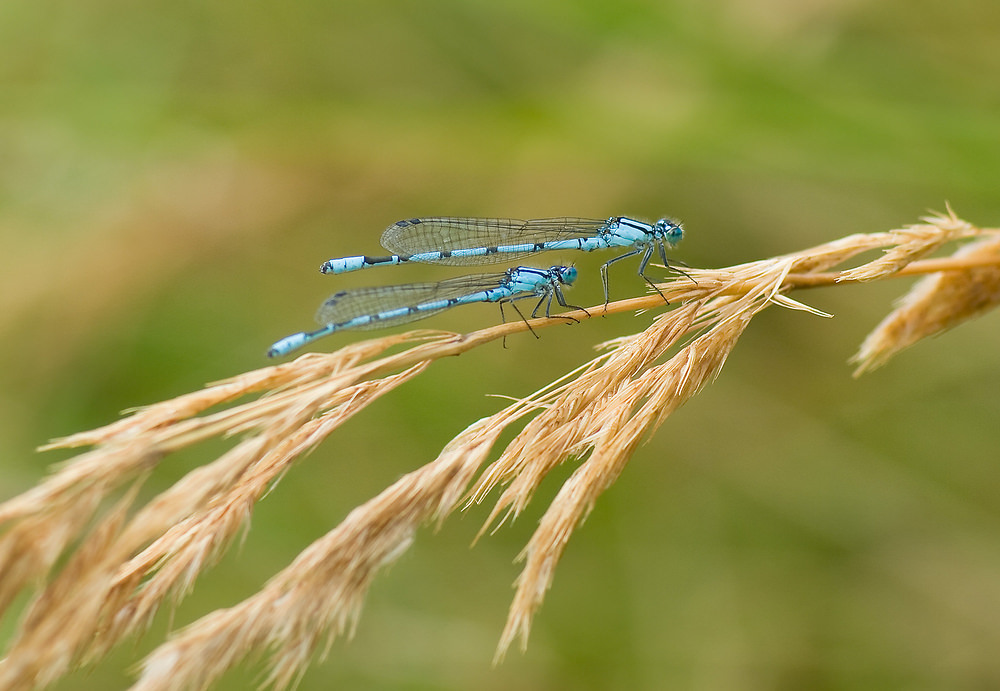 Enallagma cyathigerum (Coenagrionidae)  - Agrion porte-coupe - Common Blue Damselfly Nord [France] 23/08/2008 - 33m
