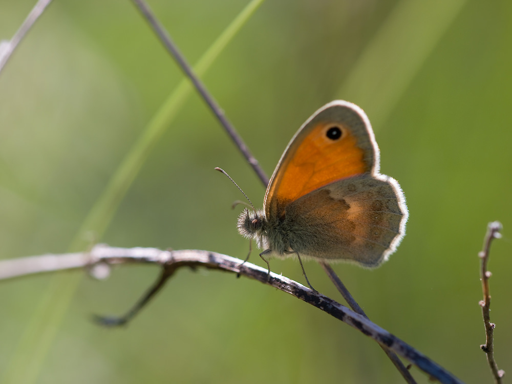 Coenonympha pamphilus (Nymphalidae)  - Fadet commun, Procris - Small Heath Drome [France] 29/05/2009 - 594m