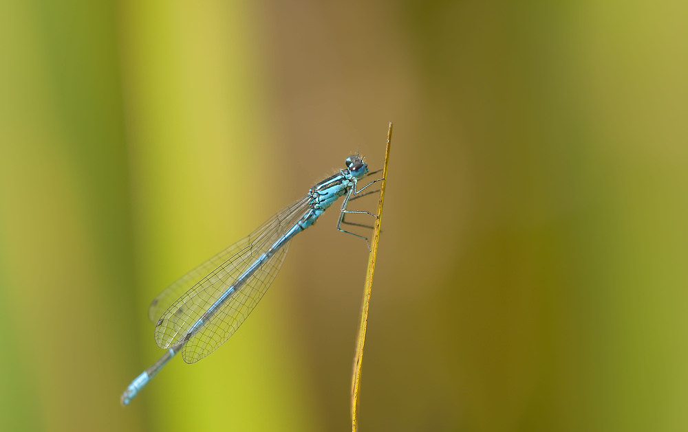 Coenagrion puella (Coenagrionidae)  - Agrion jouvencelle - Azure Damselfly Norfolk [Royaume-Uni] 16/07/2009 - 37m