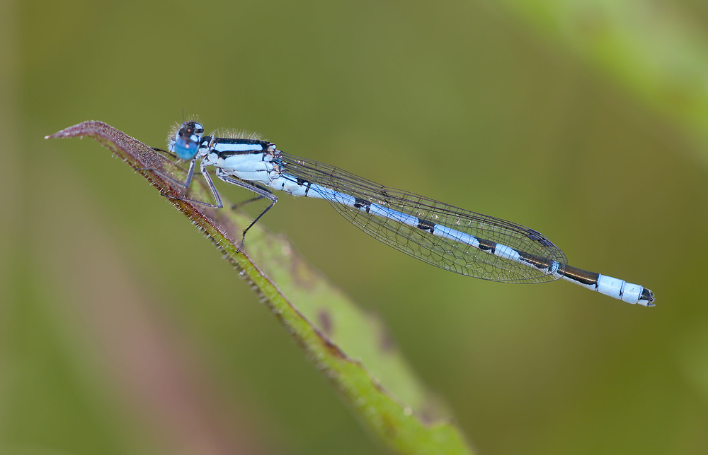 Enallagma cyathigerum (Coenagrionidae)  - Agrion porte-coupe - Common Blue Damselfly Yorkshire_du_Nord [Royaume-Uni] 18/07/2009 - 22m