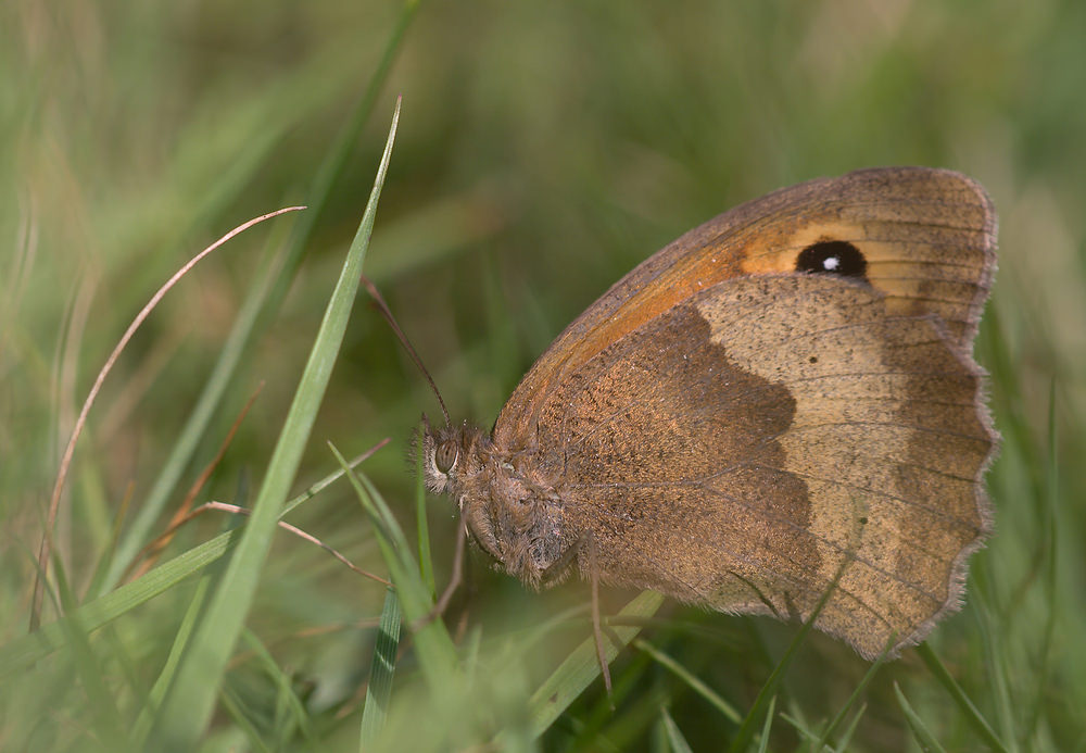 Maniola jurtina (Nymphalidae)  - Myrtil - Meadow Brown Merseyside [Royaume-Uni] 23/07/2009 - 10m
