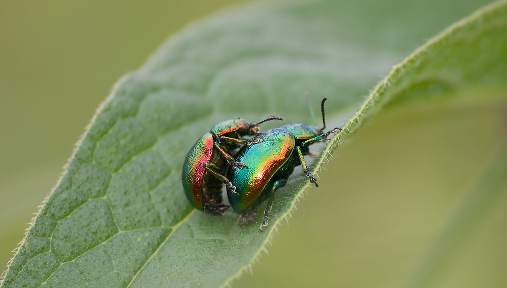 Chrysolina graminis Tansey Beetle