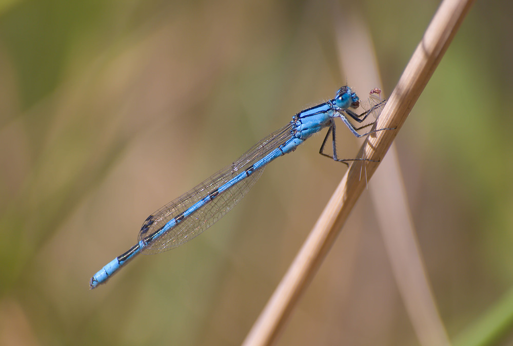 Enallagma cyathigerum (Coenagrionidae)  - Agrion porte-coupe - Common Blue Damselfly Nord [France] 22/08/2009 - 33m