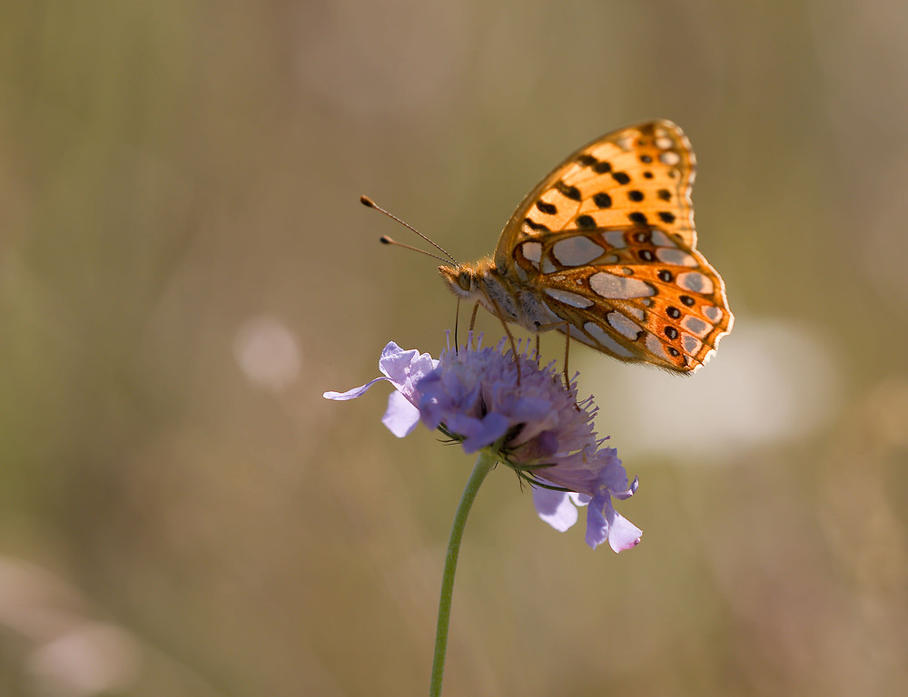 Issoria lathonia (Nymphalidae)  - Petit Nacré, Latonia, Lathone - Queen of Spain Fritillary Meuse [France] 30/08/2009 - 264m