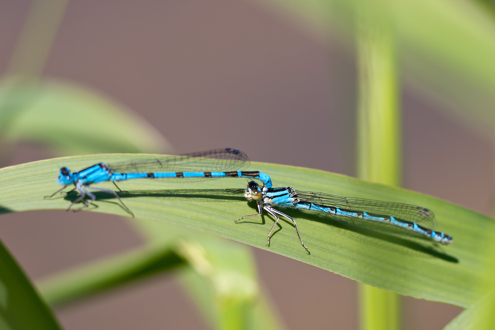 Enallagma cyathigerum (Coenagrionidae)  - Agrion porte-coupe - Common Blue Damselfly Nord [France] 21/05/2011 - 176m
