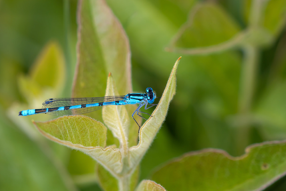 Enallagma cyathigerum (Coenagrionidae)  - Agrion porte-coupe - Common Blue Damselfly Nord [France] 11/06/2011 - 6m