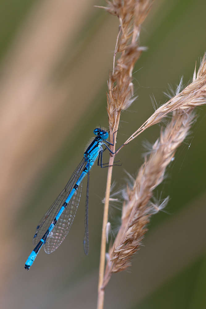 Enallagma cyathigerum (Coenagrionidae)  - Agrion porte-coupe - Common Blue Damselfly Nord [France] 27/08/2011 - 40m