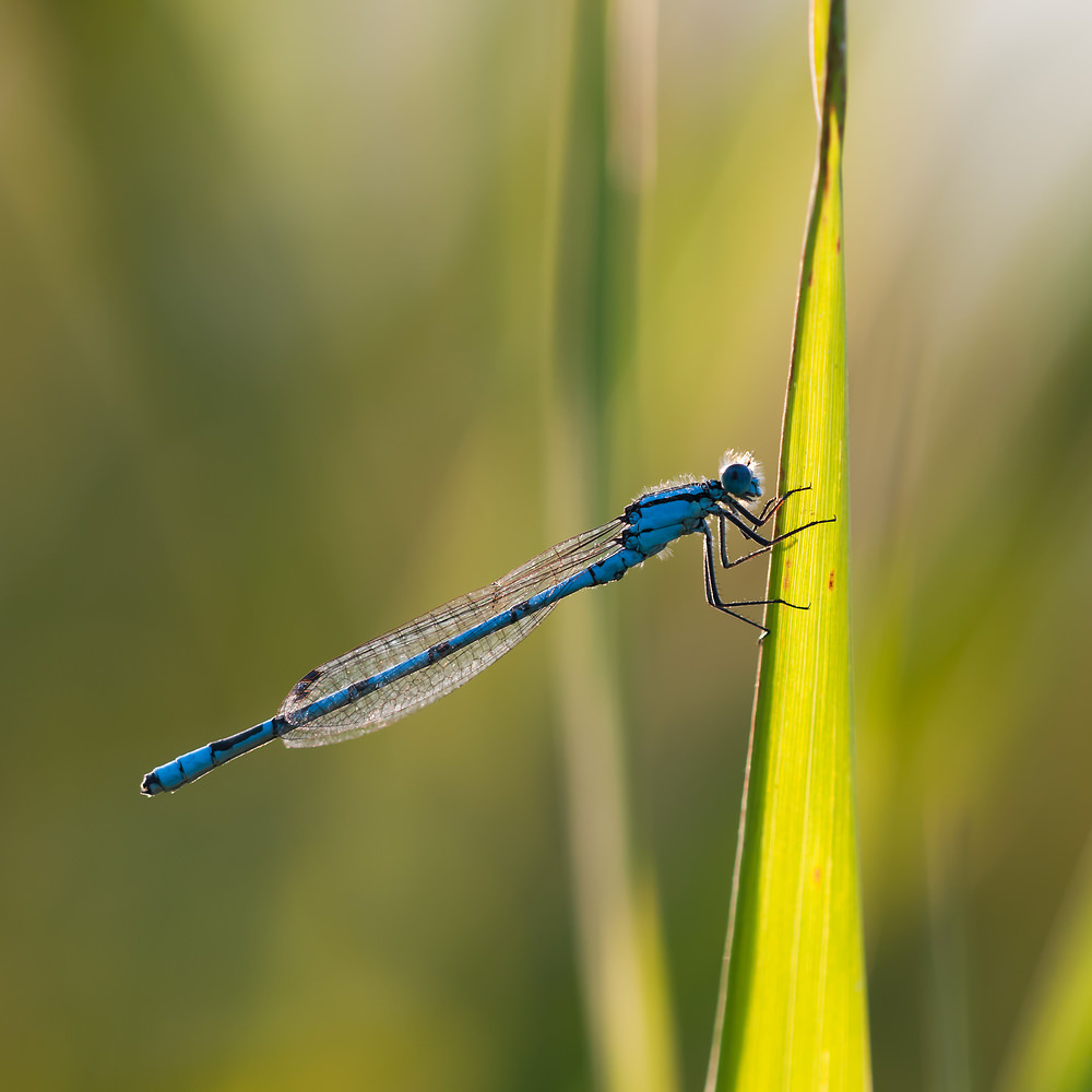 Enallagma cyathigerum (Coenagrionidae)  - Agrion porte-coupe - Common Blue Damselfly Nord [France] 16/09/2011 - 176m