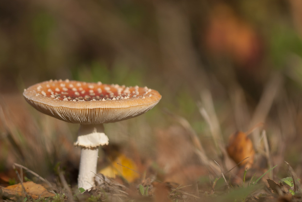 Amanita muscaria Amanite tue-mouches, fausse oronge Fly Agaric