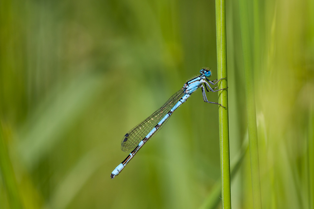 Enallagma cyathigerum (Coenagrionidae)  - Agrion porte-coupe - Common Blue Damselfly Hainaut [Belgique] 27/05/2012 - 20m