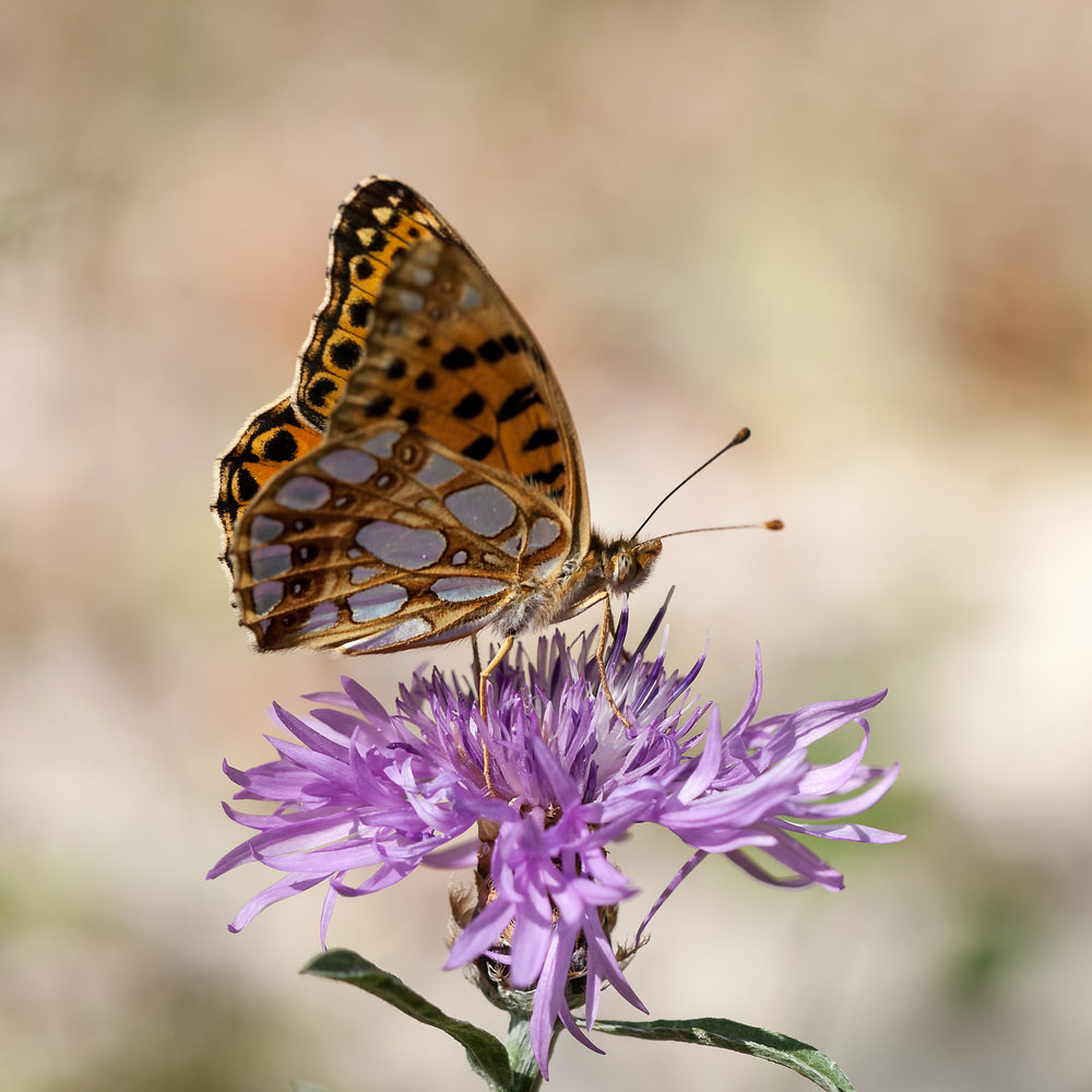 Issoria lathonia (Nymphalidae)  - Petit Nacré, Latonia, Lathone - Queen of Spain Fritillary Meuse [France] 18/08/2012 - 332m