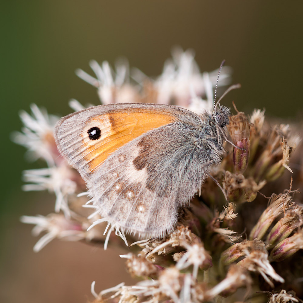 Coenonympha pamphilus (Nymphalidae)  - Fadet commun, Procris - Small Heath Pas-de-Calais [France] 08/09/2012 - 26m