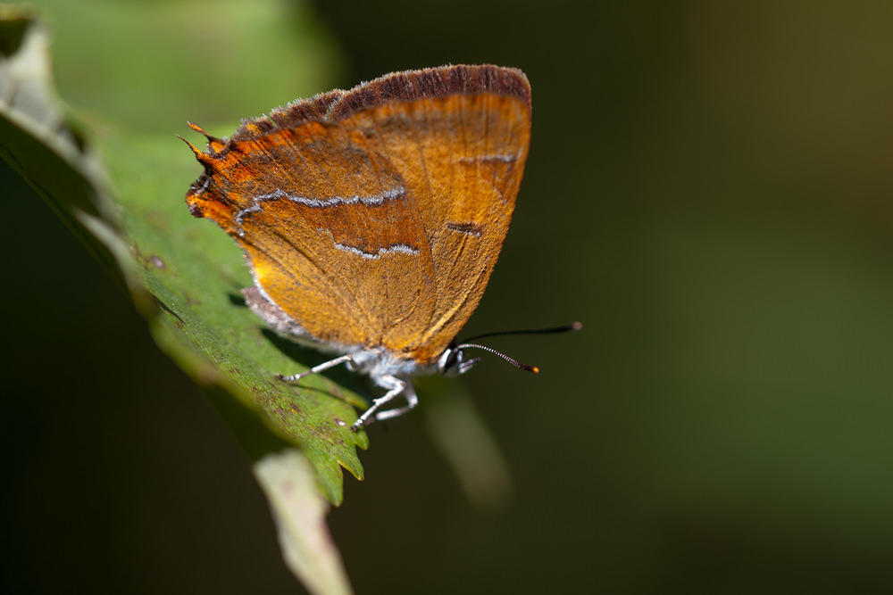Thecla betulae (Lycaenidae)  - Thécla du Bouleau - Brown Hairstreak Pas-de-Calais [France] 08/09/2012 - 26m