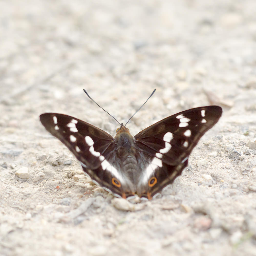 Apatura iris (Nymphalidae)  - Grand mars changeant - Purple Emperor Marne [France] 07/07/2013 - 134m