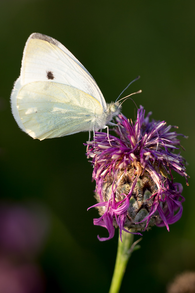 Pieris rapae (Pieridae)  - Piéride de la Rave - Small White Meuse [France] 26/07/2013 - 264m