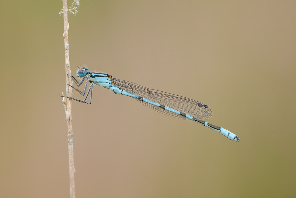 Enallagma cyathigerum (Coenagrionidae)  - Agrion porte-coupe - Common Blue Damselfly Antwerpen [Belgique] 17/08/2013 - 22m