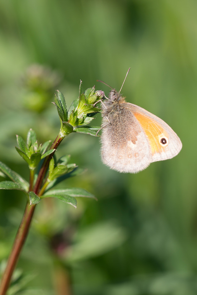 Coenonympha pamphilus (Nymphalidae)  - Fadet commun, Procris - Small Heath Marne [France] 20/04/2014 - 162m