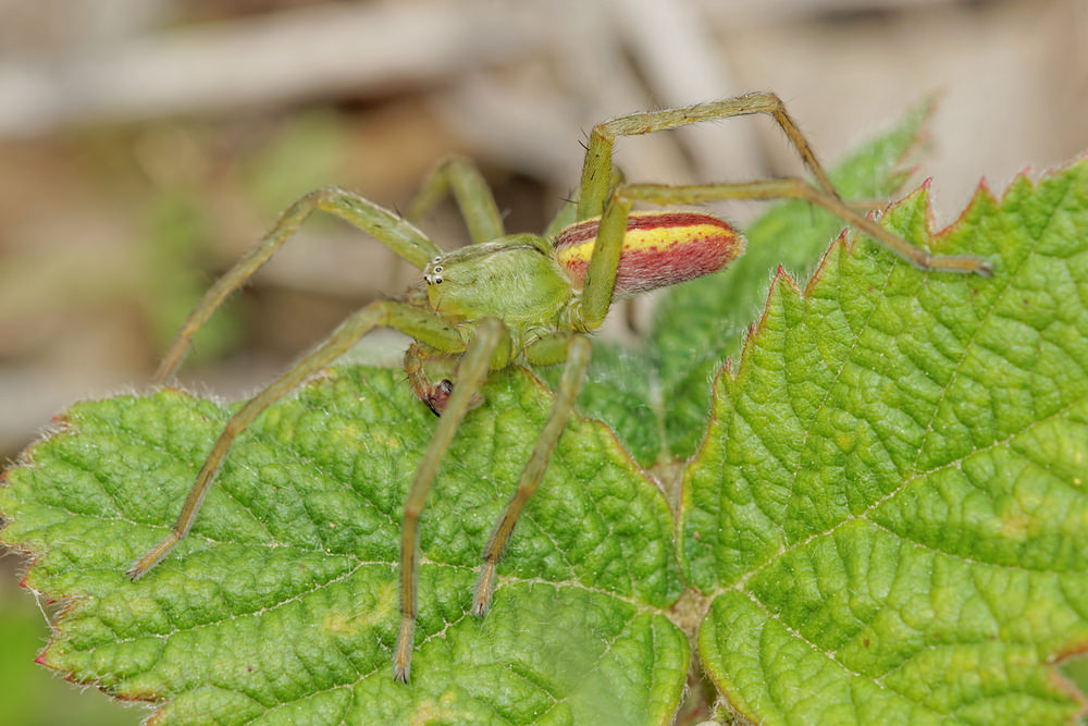 Micrommata virescens (Sparassidae)  - Micrommate émeraude - Green Spider Cote-d_Or [France] 10/05/2014 - 299m