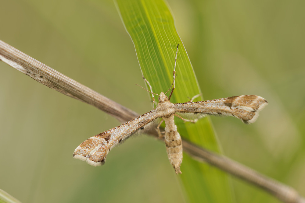 Platyptilia gonodactyla (Pterophoridae)  - Ptérophore du Tussilage - Triangle plume Cote-d_Or [France] 10/05/2014 - 299m