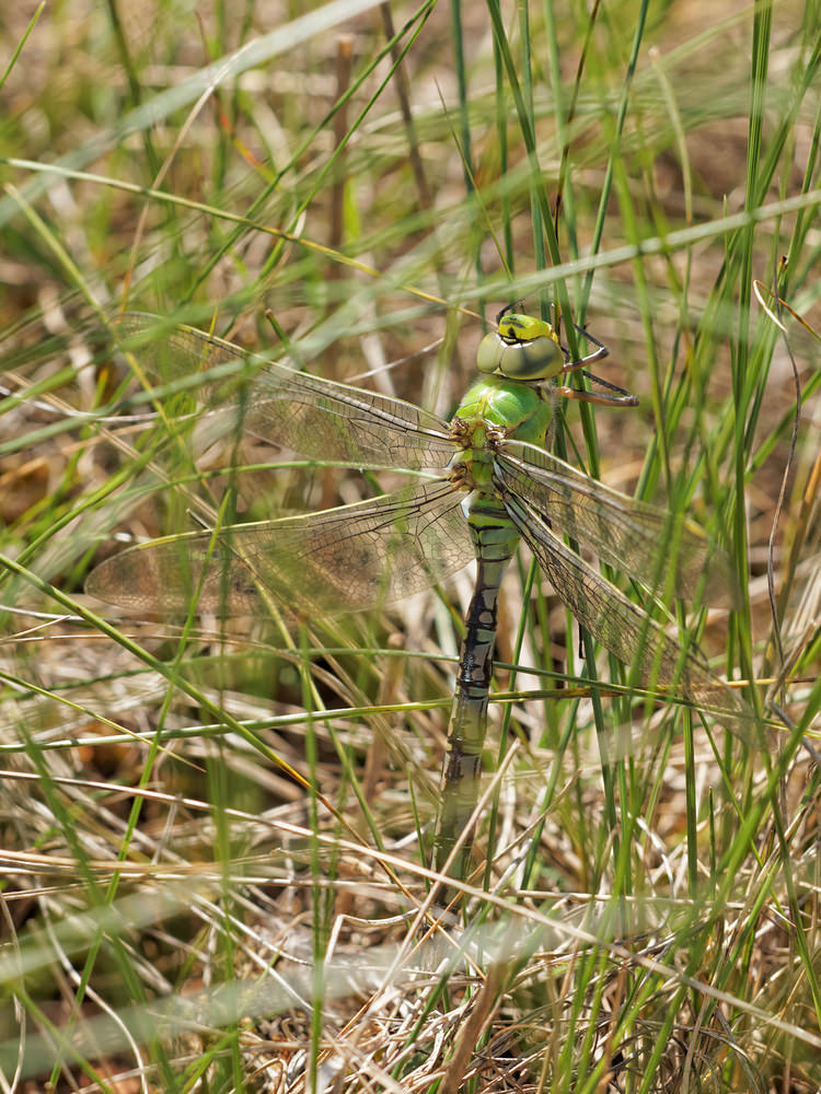 Anax imperator (Aeshnidae)  - Anax empereur - Emperor Dragonfly Aveyron [France] 05/06/2014 - 817mMâle immature
