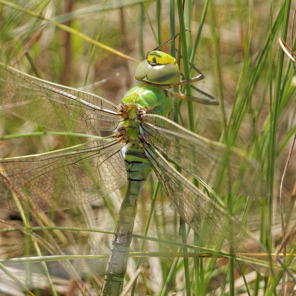 Anax imperator (Aeshnidae)  - Anax empereur - Emperor Dragonfly Aveyron [France] 05/06/2014 - 817m
