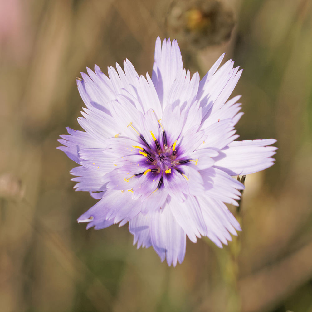 Catananche caerulea (Asteraceae)  - Cupidone - Blue Cupidone Aveyron [France] 02/06/2014 - 349m