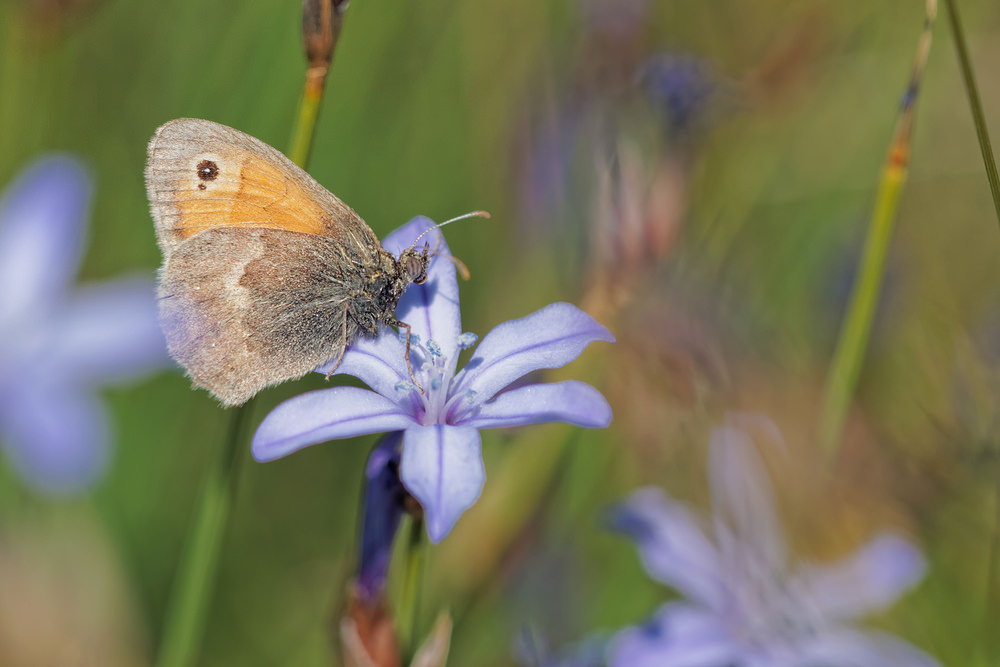 Coenonympha pamphilus (Nymphalidae)  - Fadet commun, Procris - Small Heath Aveyron [France] 05/06/2014 - 817m